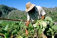 Work into tobacco field. Vinales Valley. Pinar del Rio province. Cuba