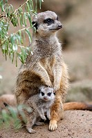 Suricate suricatta, Captive, Germany, Meerkat, adult on guard with youngers
