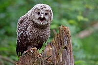 Strix uralensis, Ural owl, captive, Germany, chik