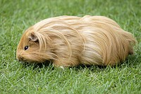 Guinea pig, cavy, domestic, captive, Germany