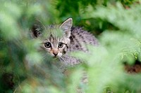 Felis silvestris, Common Wild Cat, Germany, captive, kitten,