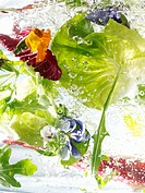 Fresh salad leaves in water Not available for exclusive usages