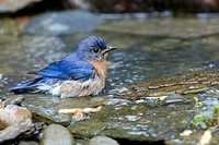 Bluebird in Water