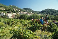 Grape-picking near Gigondas, southern Rhone valley, France