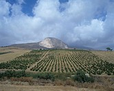 Vineyards at Caltabellotta, near Sciacca, Sicily SW, Italy