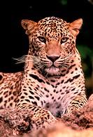 MAMMAL, LEOPARD, Sri Lankan, Juvenille male, Sri Lanka, panthera pardus kotiya,