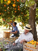 Senior man asleep in orchard, man picking fruit in background
