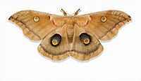 Giant silk moth Antheraea polyphemus on white background