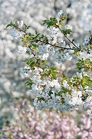 Beauty, Bloom, Blooming, Blossom, Botany, Branch, Branches, Cherry tree, Cherry trees, Close_up, Color, Colour, Delica