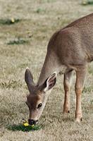 Mule Deer fawn Odocoileus hemionus grazing in field