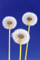 Three dandelion taraxacum officinale clocks