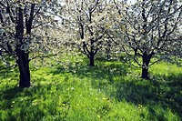 Cherry tree Prunus orchard