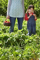 Girl 5-6 with mother mid section in strawberry field (thumbnail)