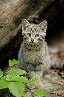 European Wildcat (Felis silvestris), young. Bavarian Forest National Park, Germany