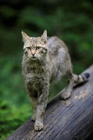 European Wildcat (Felis silvestris). Bavarian Forest National Park, Germany