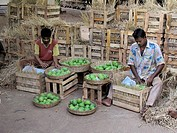 People packing the Mangoes