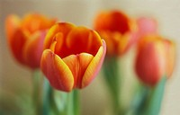 Tulipa - variety not identified, Tulip
