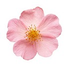 Rosa 'Sancta', Rose