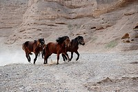 China, Gansu Province, Jingtai, herd of horses, running