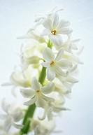 Hyacinthus - variety not identified, Hyacinth