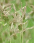Lavandula stoechas, Lavender - French lavender