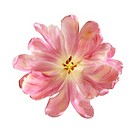 Tulipa - variety not identified, Tulip - Parrot tulip