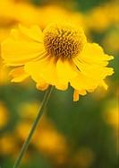 Helenium 'Sonnenwunder', Helen's flower / Sneezeweed
