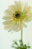 Anemone coronaria 'Mount everest', Anemone