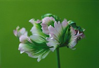 Tulipa ´Greenwave´, Tulip - Parrot tulip