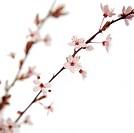 Prunus cerasus, Cherry