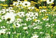 Leucanthemum vulgare, Daisy - Ox-eye daisy