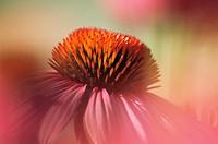 Echinacea purpurea, Echinacea / Purple coneflower