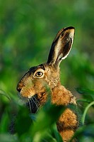 Brown hare, European hare, May, Bavaria, Germany