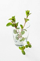 Fresh mint in a glass