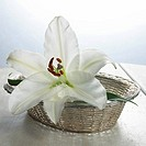 White lily blossom in a basket