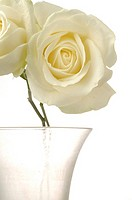 White rose in glas vase