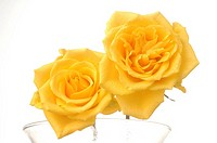 Two yellow rose blossom