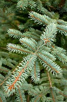 Closeup of spruce tree branches (thumbnail)