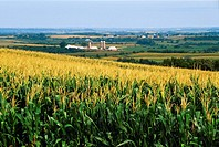 Agriculture - Fully tasseled grain corn with farmsteads in background / N E Iowa, USA