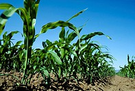 Agriculture - Sweet Corn, early growth / Sacramento, California, USA