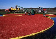 Agriculture - Cranberry harvest / Valley Junction, Wisconsin, USA
