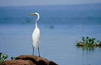 Great White Egret. Lake Victoria. Kenya