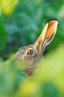 Lepus europaeus, Brown hare, European Brown hare, Germany