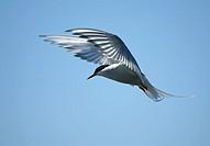 Arctic Tern (Sterna paradisaea). Sweden.