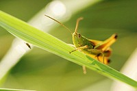 Grasshopper on meadow