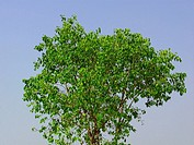 Ficus Religiosa tree. Family: Moraceae. Peepal tree. A common tree in India. It has a religious significance and is sacred to both _ the Hindus and th...