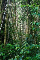 Lush forest composition in the mountain rainforests of Panama