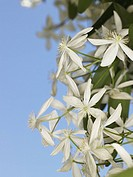Clematis, Flowering vine, close-up