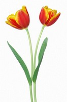Two tulip Tulipa sp  against white background, close up