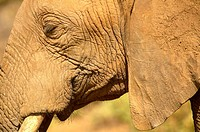African Elephant Head Detail. Samburu National Reserve, Kenya
